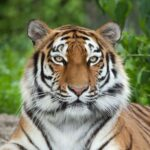 Tiger mauls female zookeeper, 55, to death in front of horrified visitors