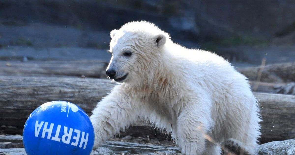 Brother and sister polar bears accidentally breed together at zoo after mix-up