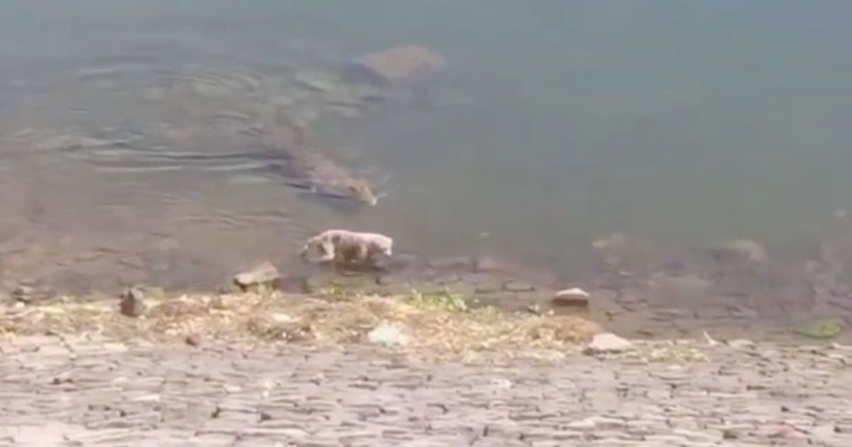 Huge crocodile grabs whimpering dog while it's drinking and drags it to its death