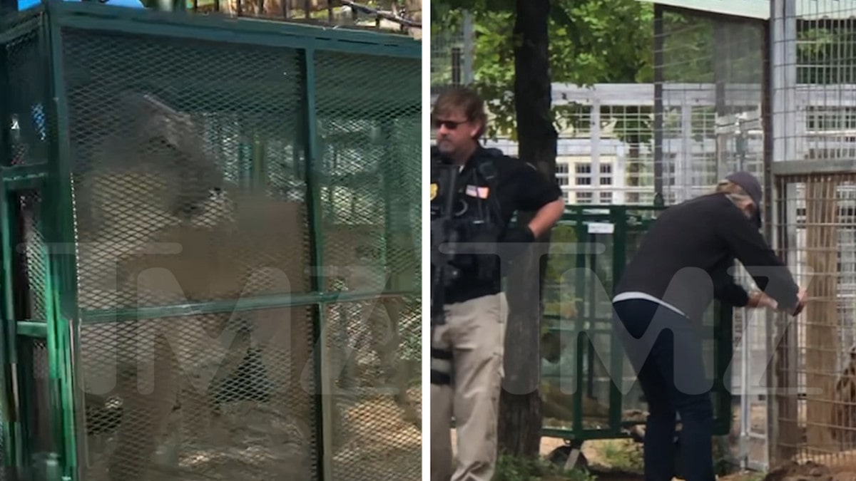 Jeff Lowe Says Feds Seizing Animals at His Zoo, Video of Big Cat Being Hauled Away