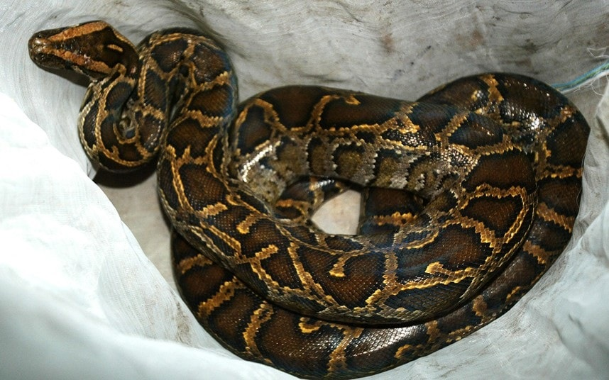 Healing Session Gone Wrong As Prophet Is Nabbed For Using A Python To Fake Exorcisms