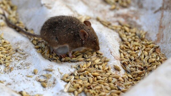 Woman wakes up to mouse chewing her eyeball as shocking rodent plague rages on