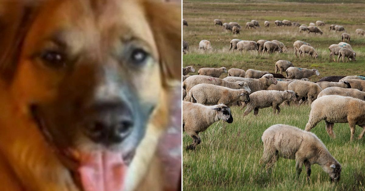 Missing border collie hurled from car in crash found days later happily herding sheep