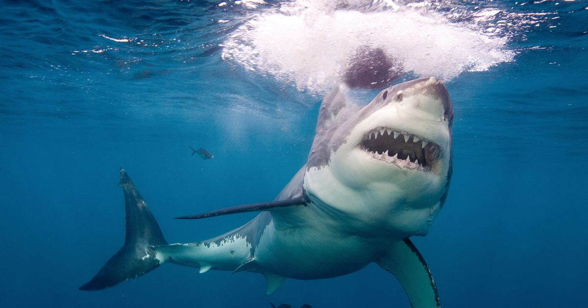 Great white shark bites chunk out of swimmer as beach shut down