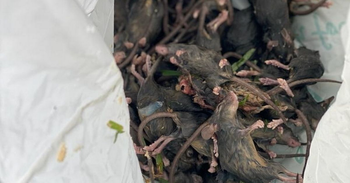 Britain blamed for Australia's biblical mouse plague amid link to convict ships