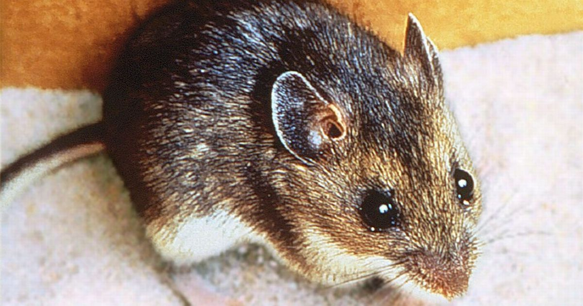 Woman catches rare and deadly virus while cleaning rat-infested house