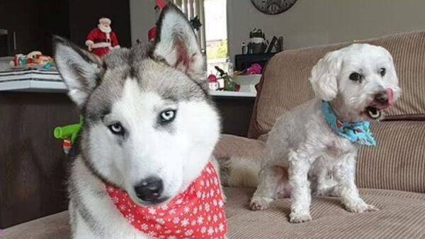 'Desperate' husky eats other dog after owner goes on holiday without leaving them food