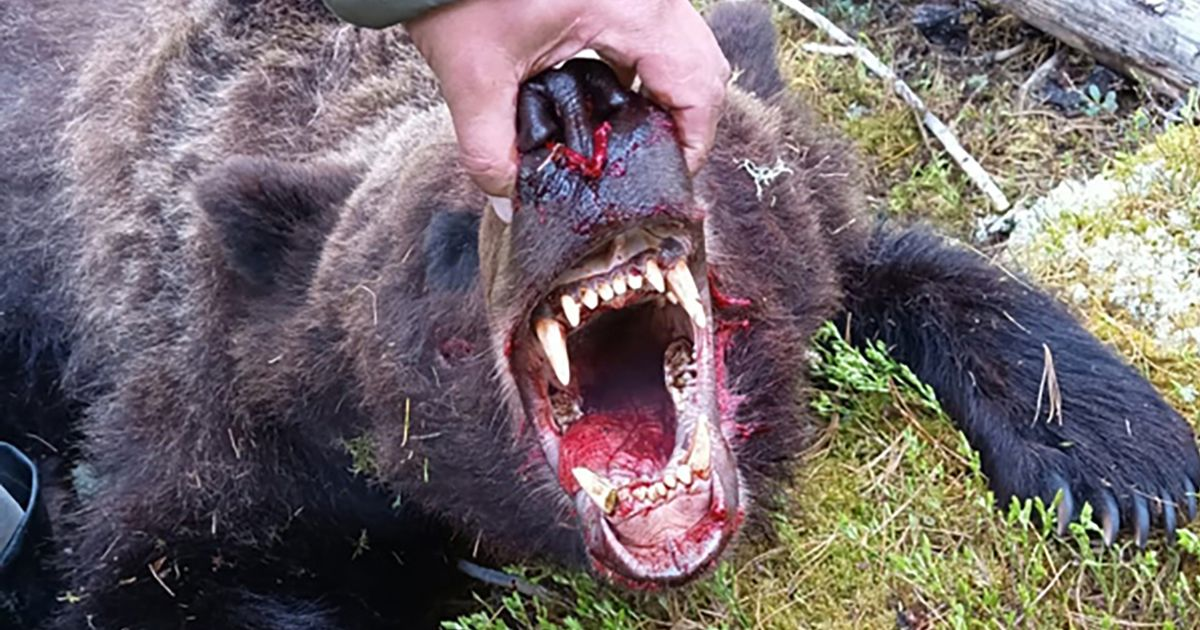 Bear tears apart and kills teen campsite worker, 16, before eating his remains