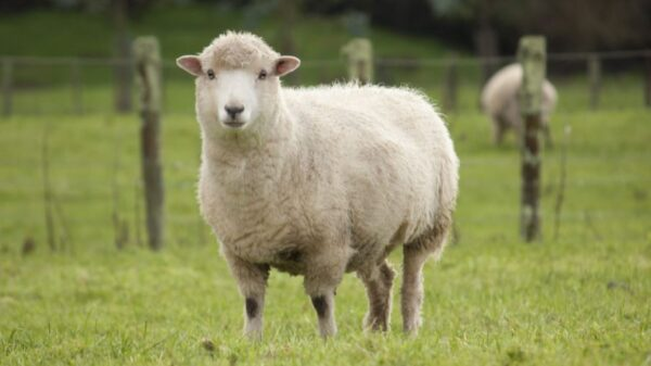 Police Arrest Man For Having S3x With Neighbour's Sheep
